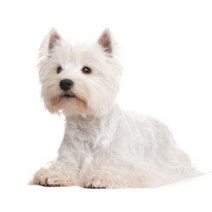 CHAMP-RICHER (Champion) шампунь щенок белая шерсть