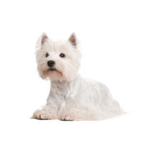 CHAMP-RICHER (Champion) dog white coat