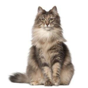Champ-Richer (Champion) длинношерстная кошка