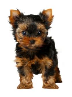 Champ-Richer (Champion) szampon szczeniak Yorkshire Terrier