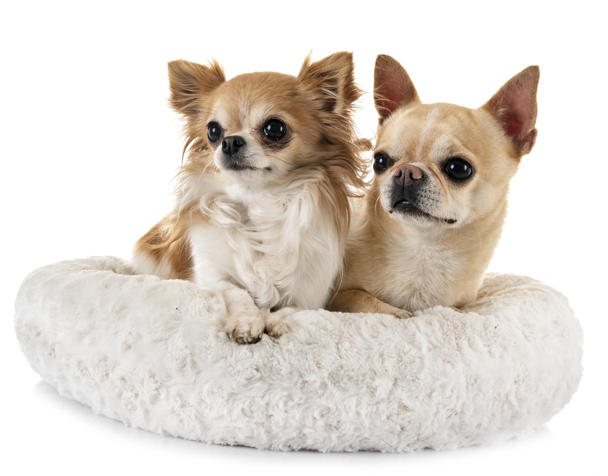Champ-Richer (Champion) szampon Chihuahua